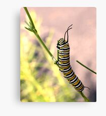 Monarch Caterpillar - 19 Canvas Print
