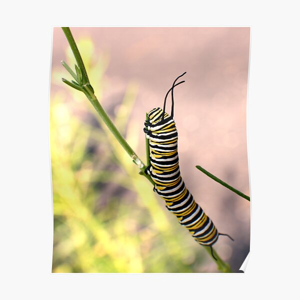 Monarch Caterpillar - 19 Poster