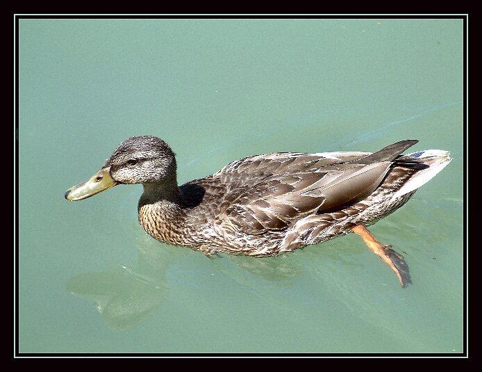 Duck 4 by jakking