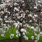 Weeping Cherry Tree by Bev Pascoe