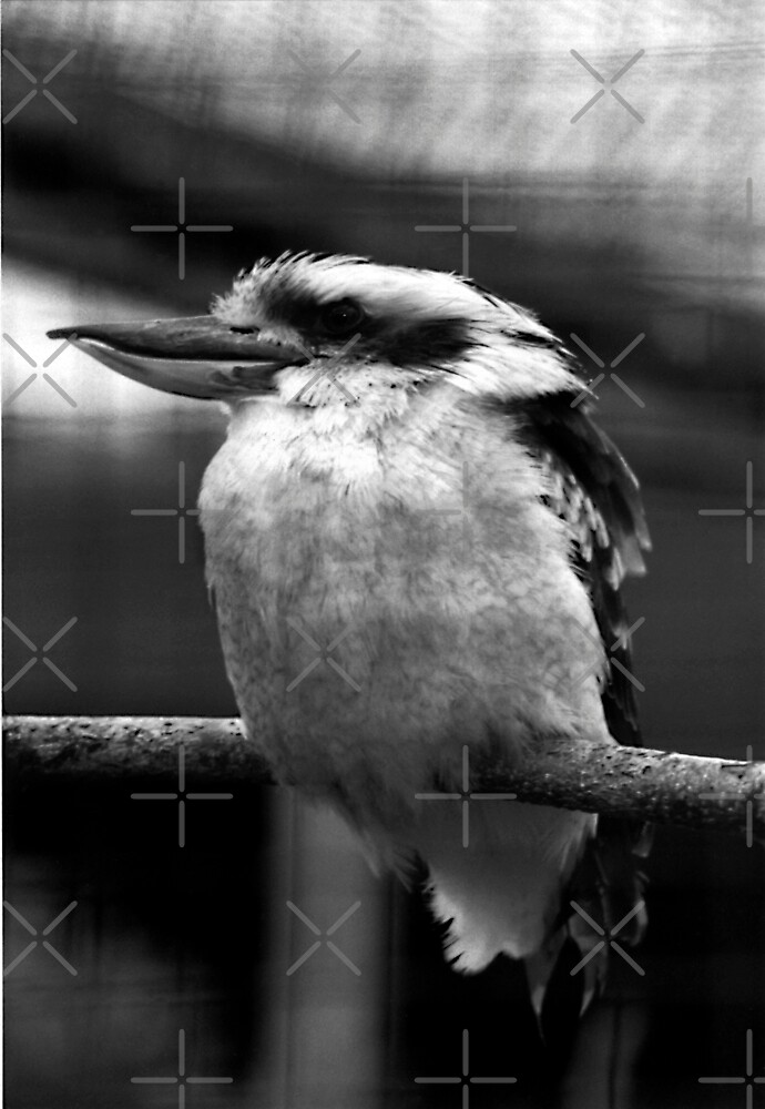 Kookaburra by stellaozza