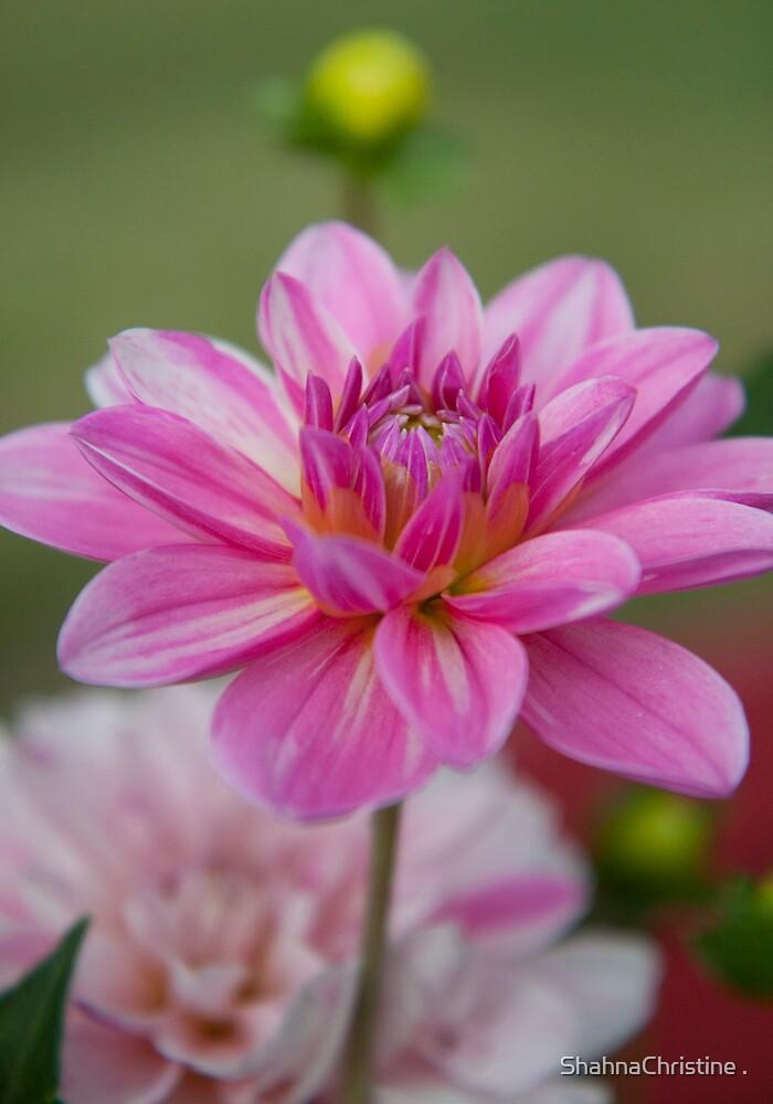Pretty In Pink by ShahnaChristine .