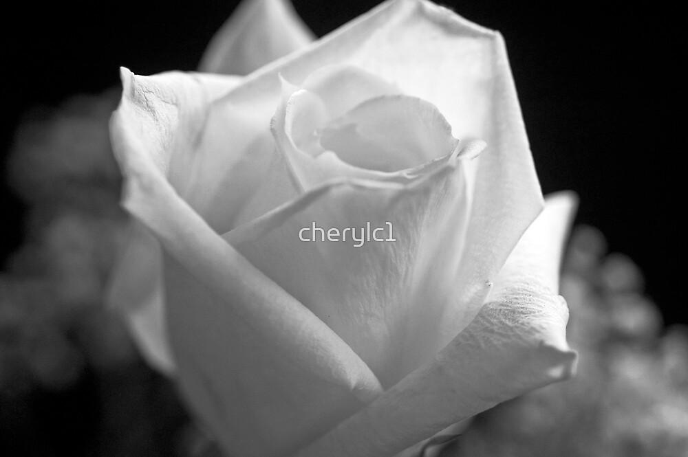 White Rose by cherylc1