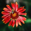 Bee on a red helenium by Kasia-D