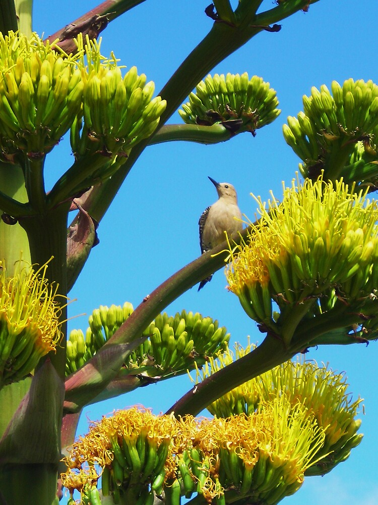 Woodpecker and Agave by gcampbell