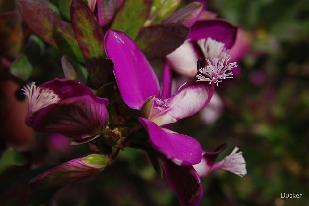Polygala myrtifolia 'Grandiflora' / Sweet Pea Shrub by Dusker