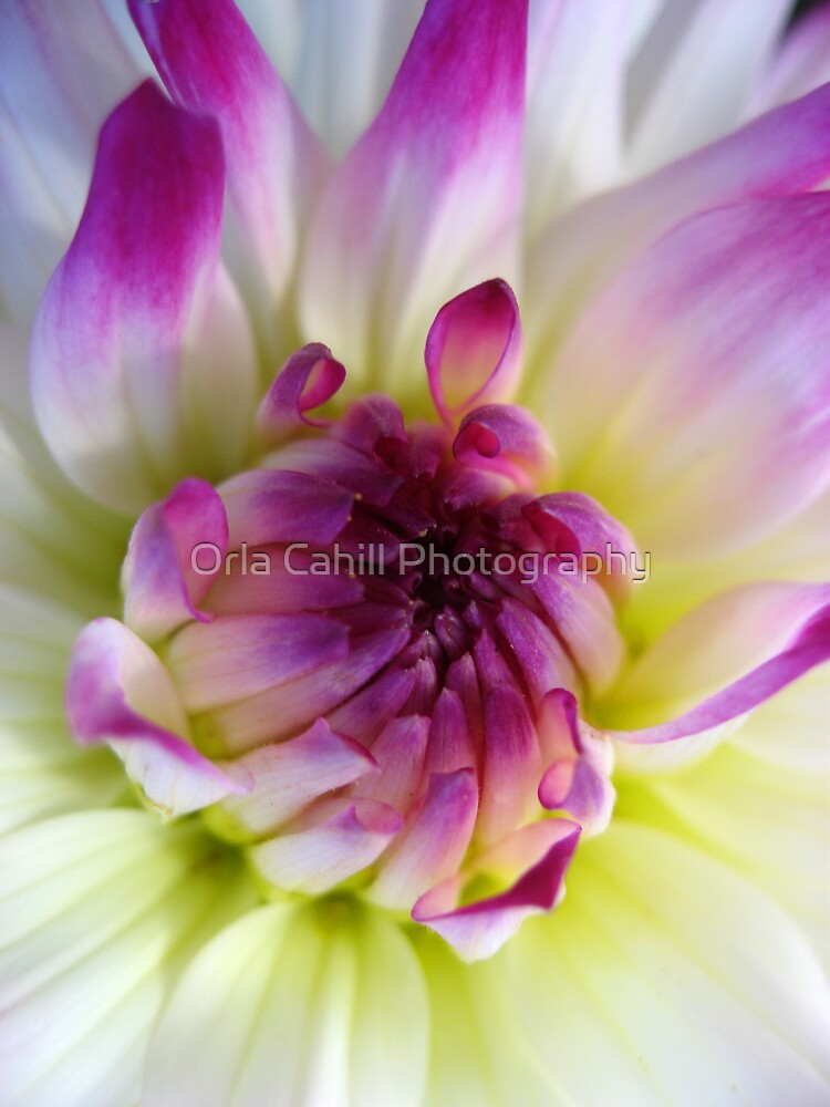Dahlia Glory no.4 by Orla Cahill Photography