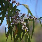 Western Australian Peppermint (Agonis flexuosa) by lezvee