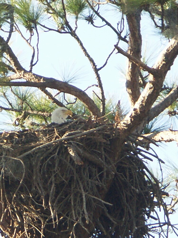 Nesting Eagle by Bob Hardy