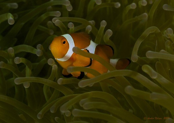 Anemonae surfing by AmberN