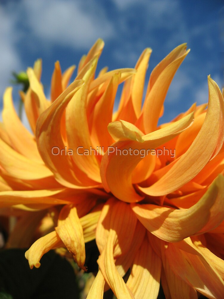 Dahlia Abstract by Orla Cahill Photography