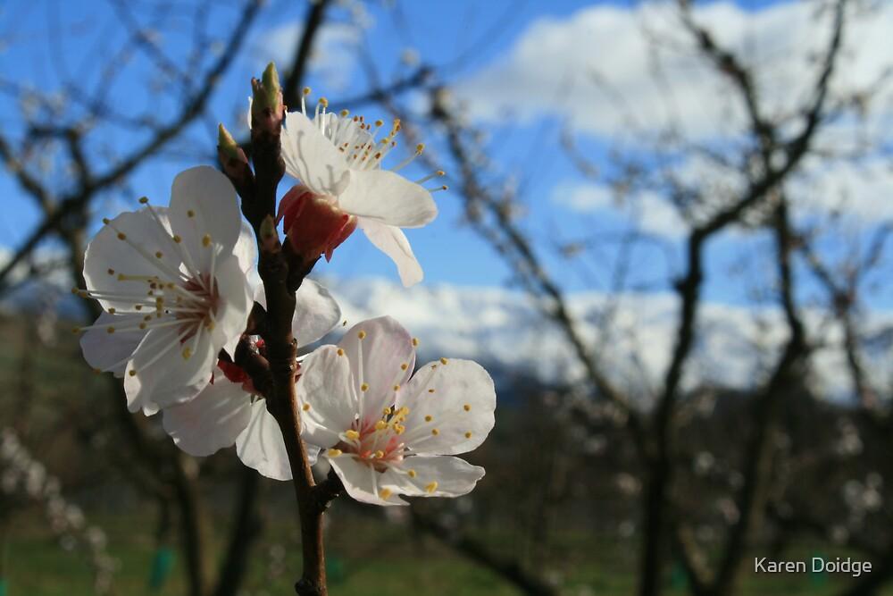 Apricot blossom by Karen Doidge