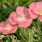 Shirley Poppy 2018-21 by Thomas Young