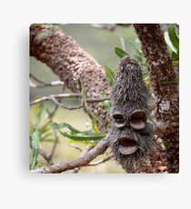 banksia man Canvas Print
