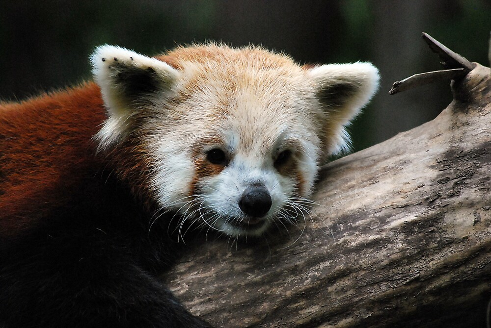 Red Panda  by Michelle BarlondSmith