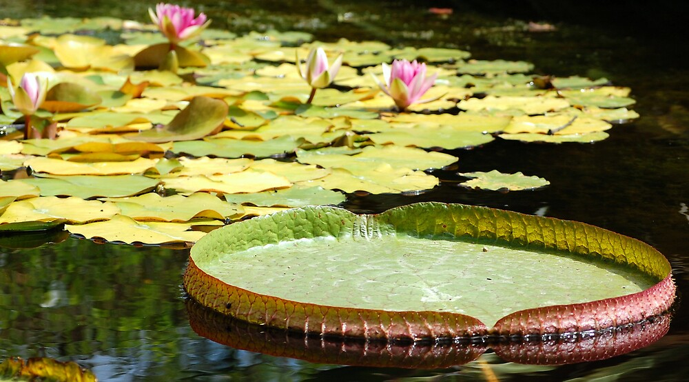 Water Lily by A Marie Sanders