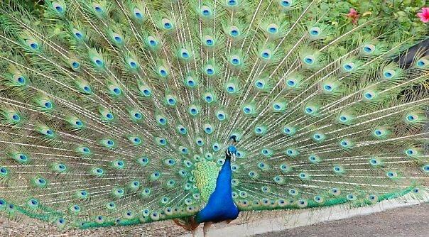 Proud Peacock by A Marie Sanders