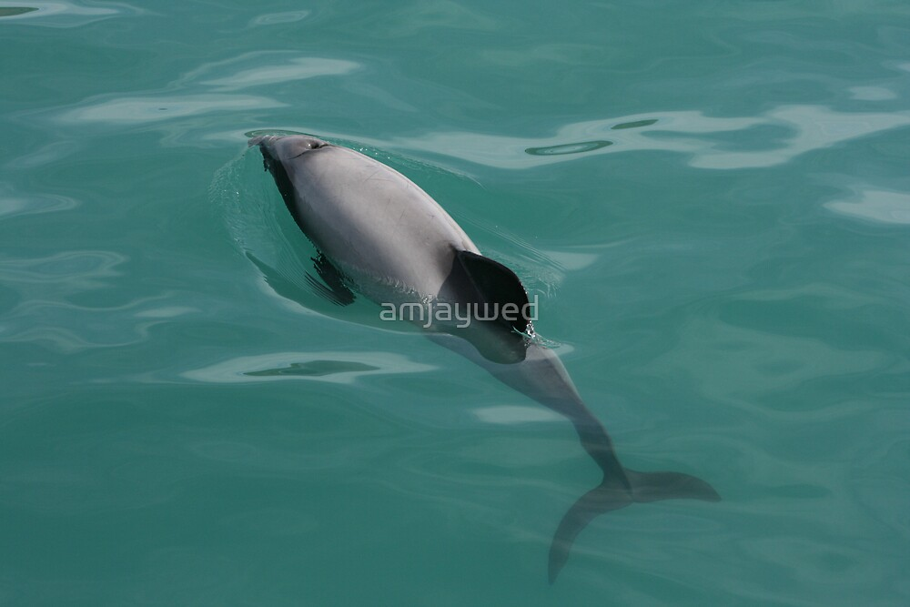 Hector's Dolphin by amjaywed