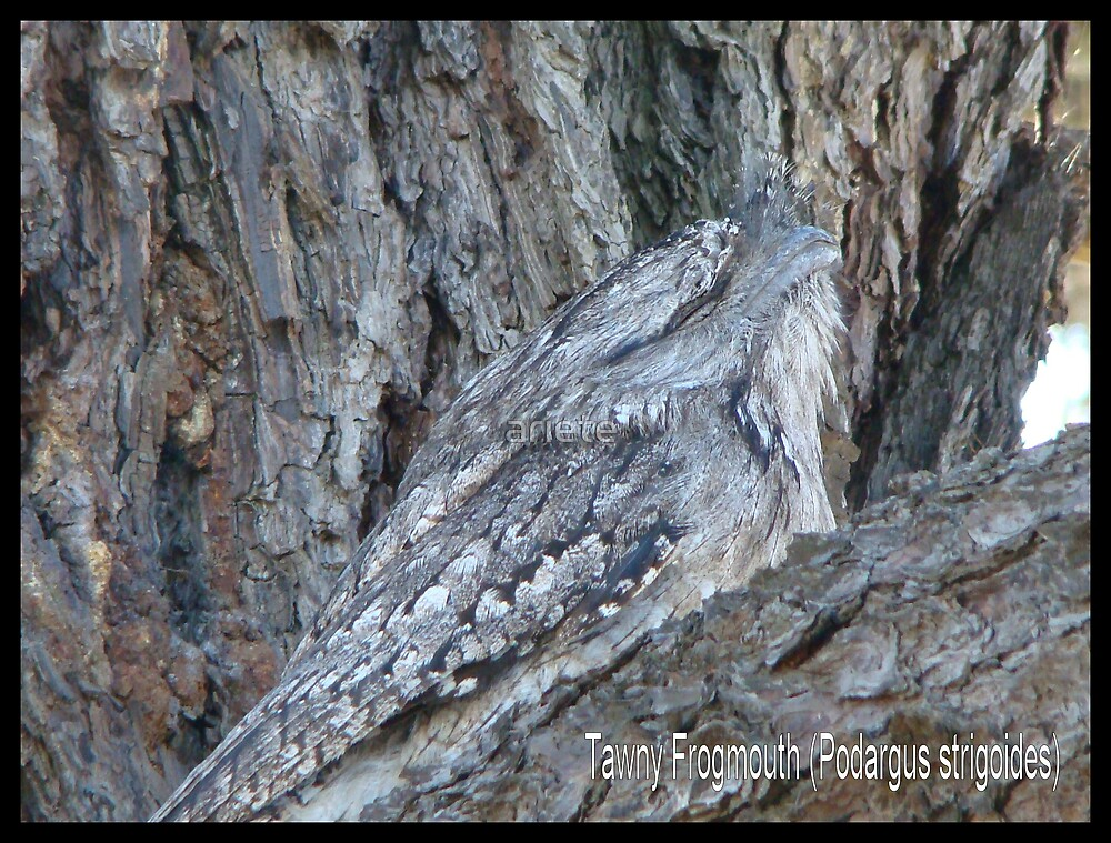Tawny Frogmouth by ariete