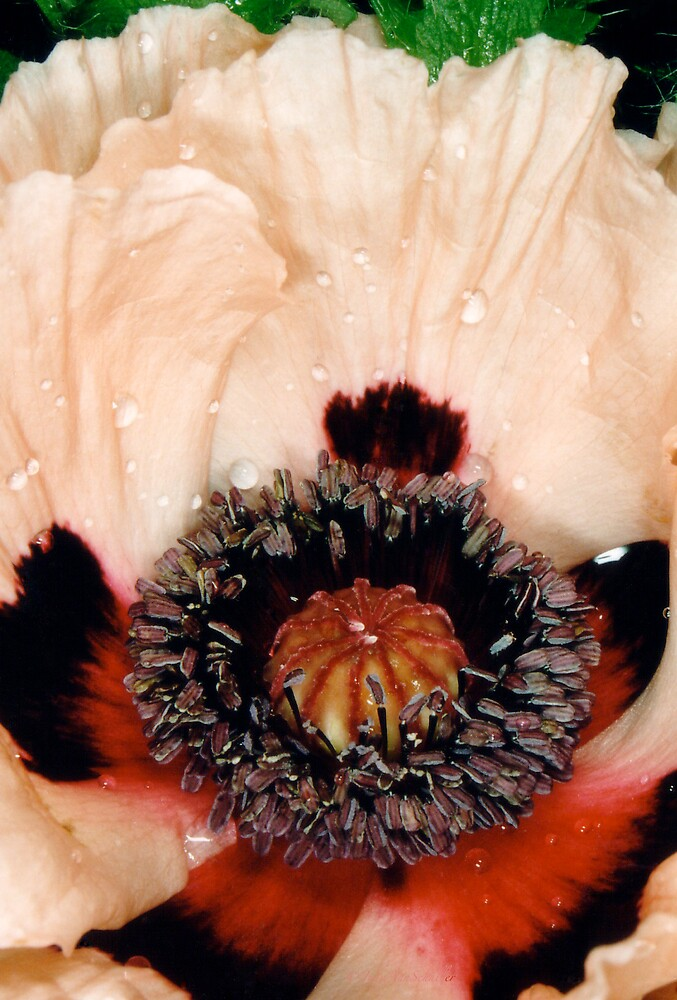 Poppy1 by jusjudy