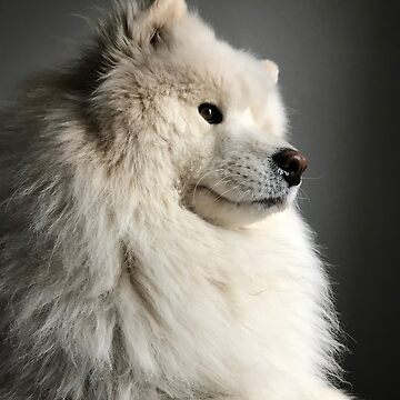 Samoyed doin a contemplate by ryderthesamoyed