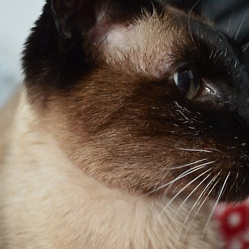Siamese Kitty by seanwiththewind
