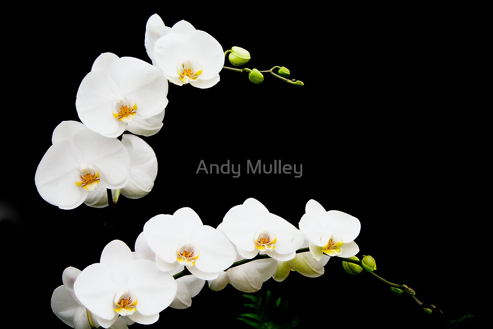 Orchids on Black by Andy Mulley