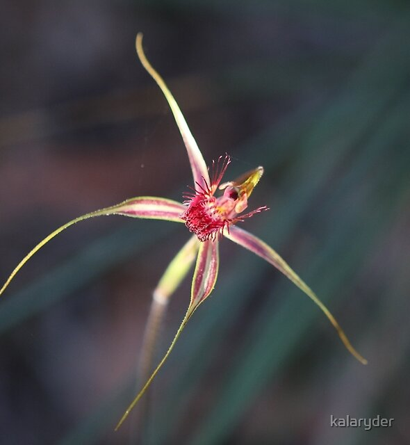 King Spider Orchid - Caladenia by kalaryder