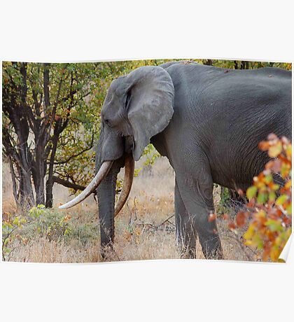 """TUSKERS OF """"THE KRUGER NATIONAL PARK"""" Poster"""