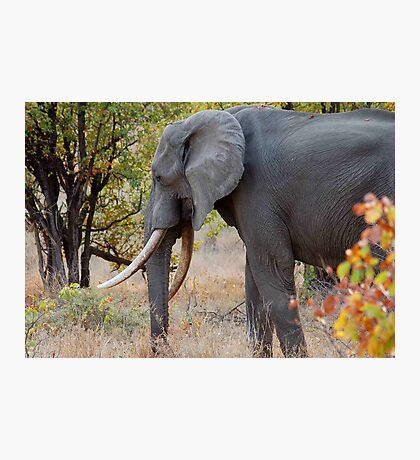 "TUSKERS OF ""THE KRUGER NATIONAL PARK"" Photographic Print"
