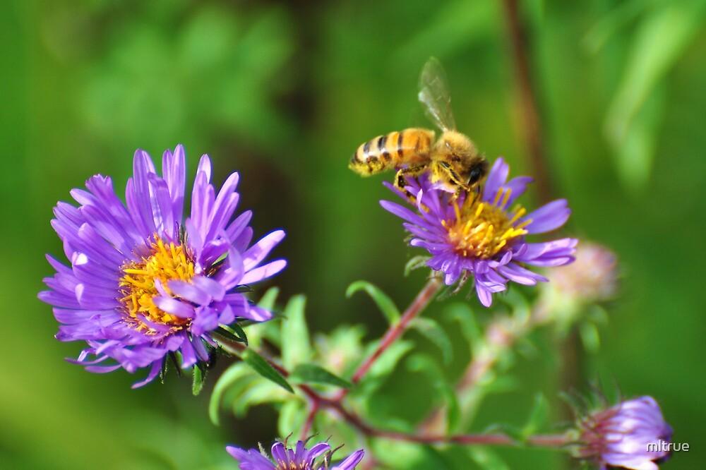 Bee on Purple Wildflower by mltrue