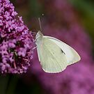 Large White Butterfly by Carole Stevens
