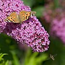 Painted lady and the Hoverfly by Carole Stevens
