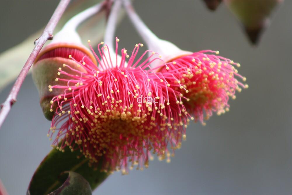 Gumnut blossom by drac