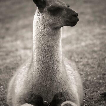 Llama by becks78