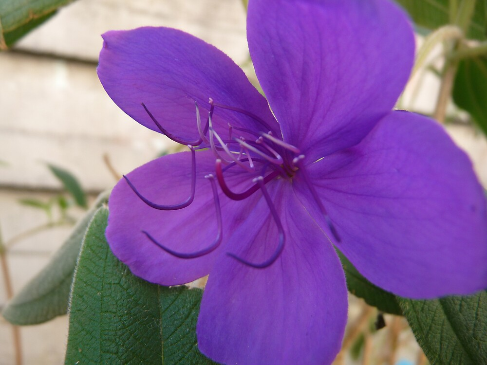 Purple Beauty (Tibuchina Urvilleana) by presbi