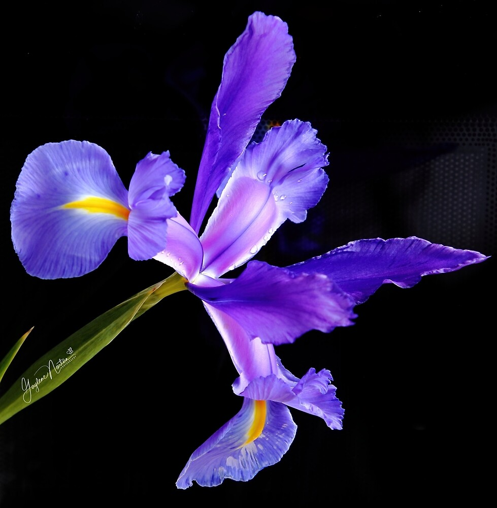 iris from my garden by Gaylene Norton