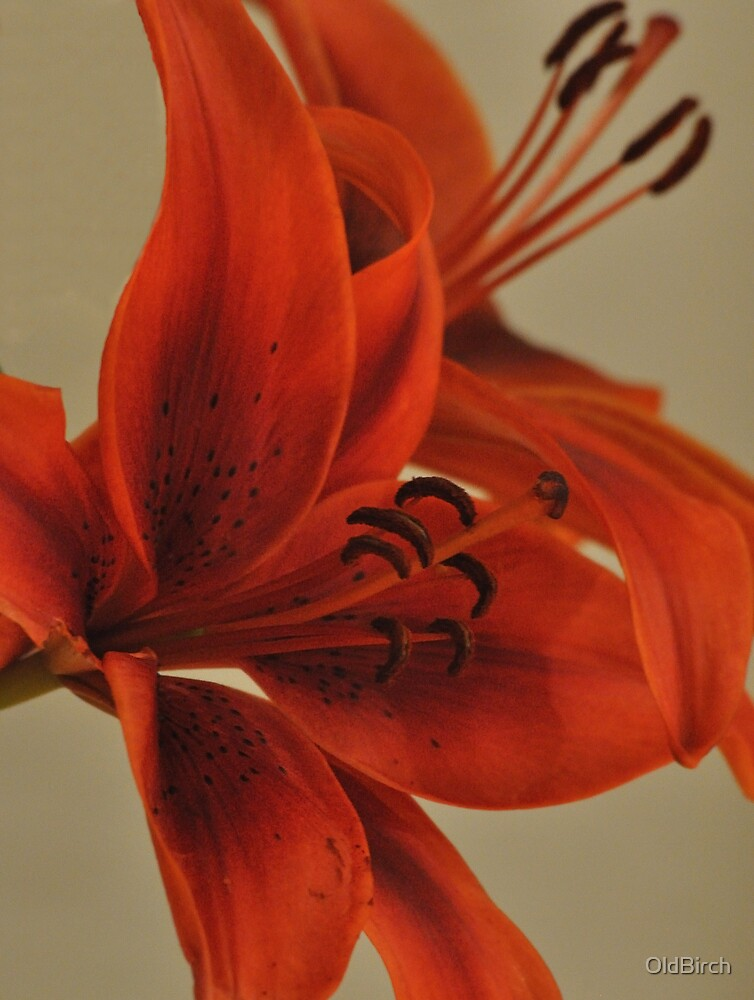 The Marly Carco Lily by OldBirch