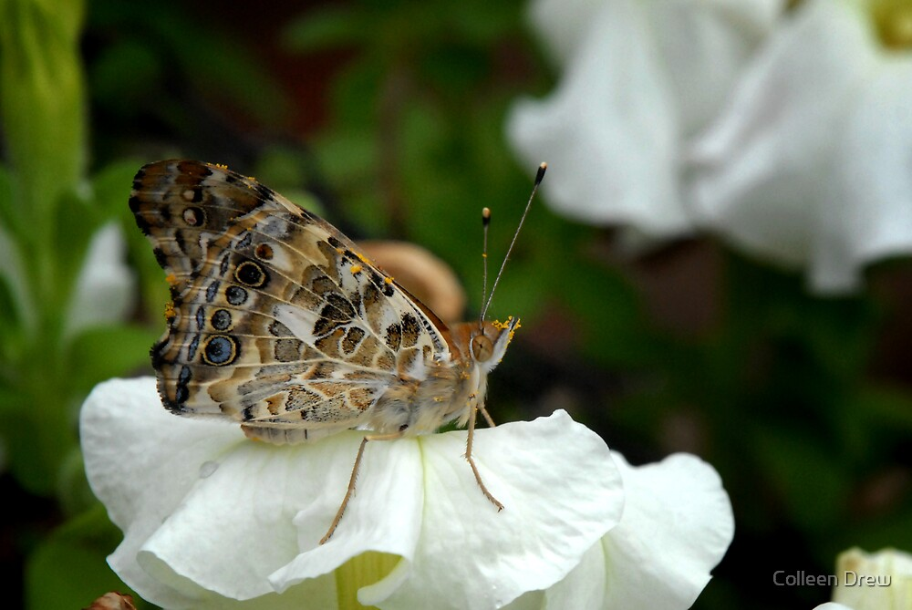 Painted Lady on Petunia by Colleen Drew