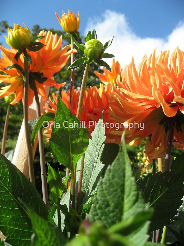 Peachy Dahlias by Orla Cahill Photography
