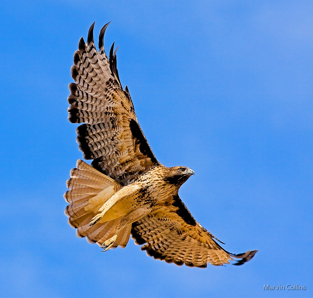 100409 Red Tailed Hawk by Marvin Collins