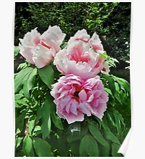 Tree Peony  From Crimea Poster
