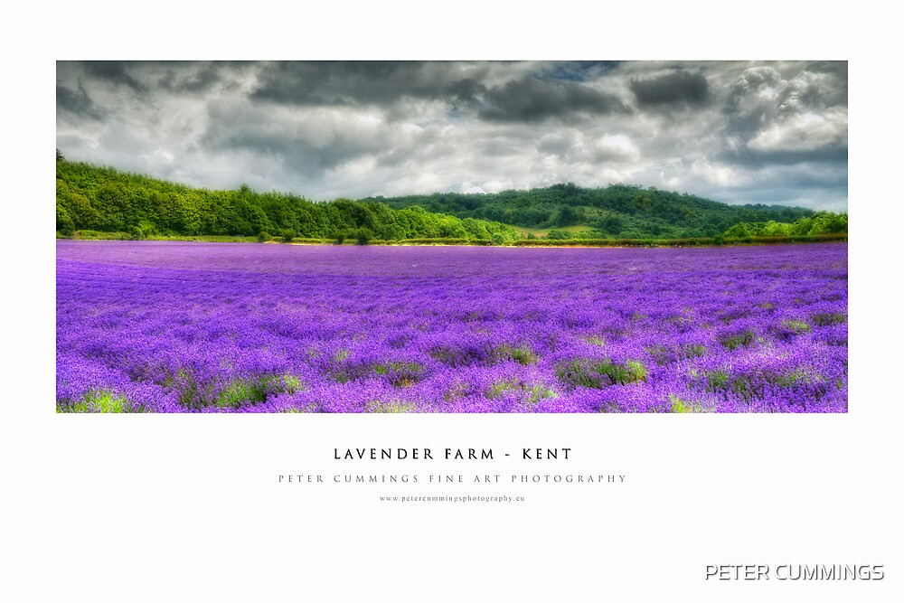 Kent Lavender Field by PETER CUMMINGS