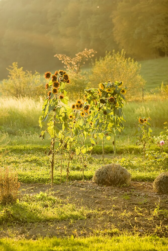 Sunflowers in a sunset by Michael Rogulla