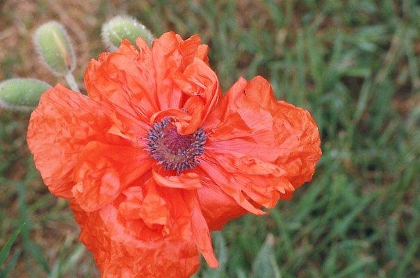Ruffled Poppy by TeganThompson