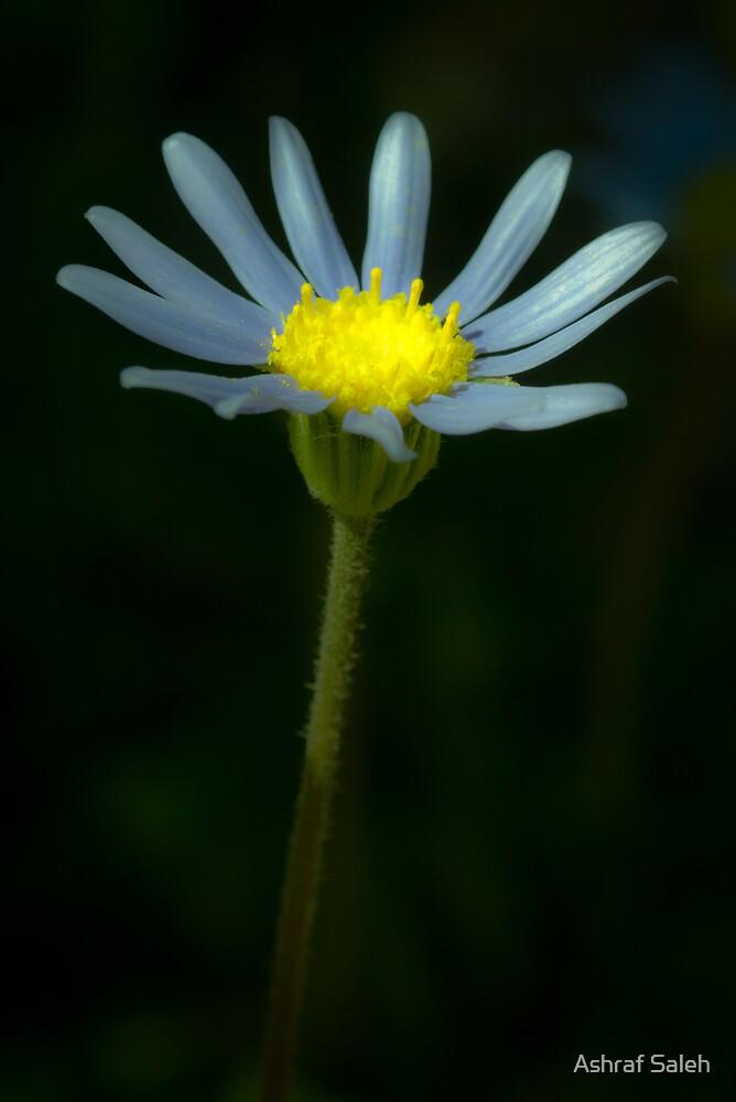 Daisy glow by Ashraf Saleh