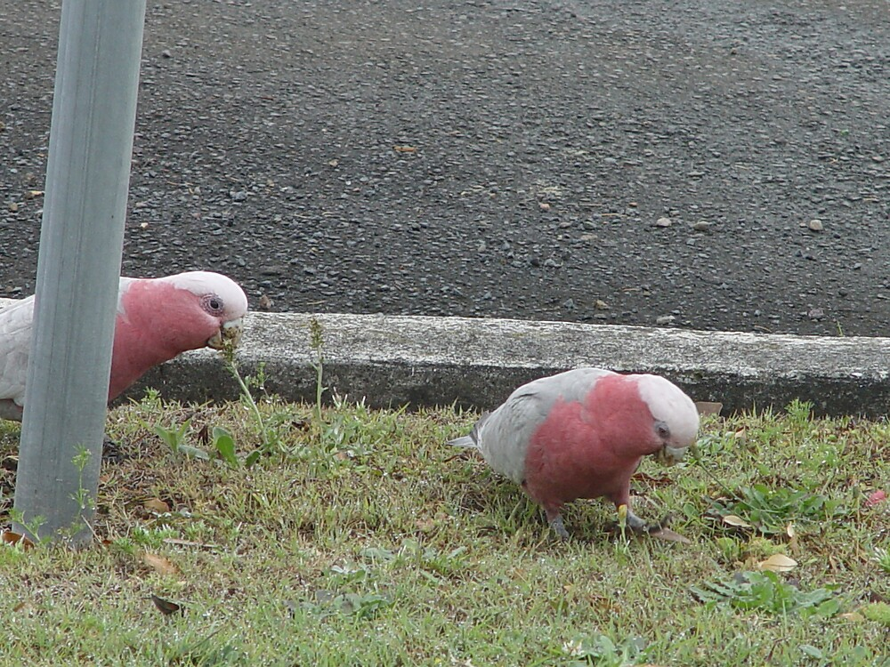 Galahs II by Gary Kelly