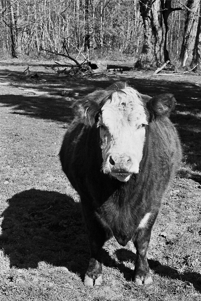 Stormy the Cow by Robin Nellist