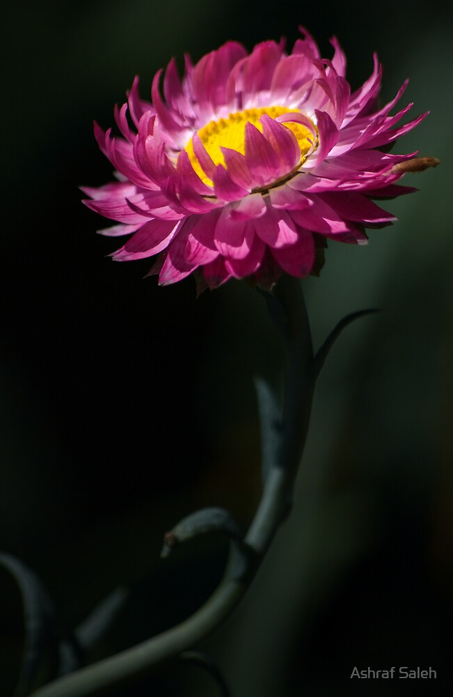 Pink burst of sunshine by Ashraf Saleh
