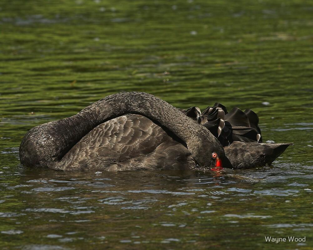 Black Swan by Wayne Wood